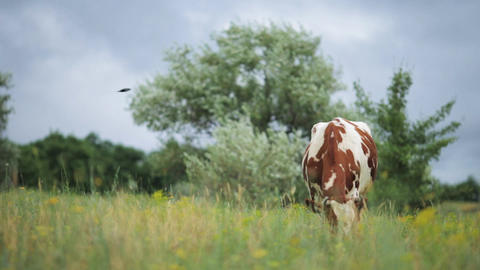 Cows Graze In The Meadow And Eating Grass Footage