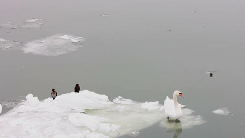 Swans on the ice of the river Danube Footage