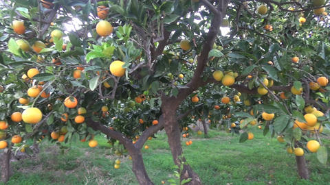 Oranges on the Orange Tree Footage