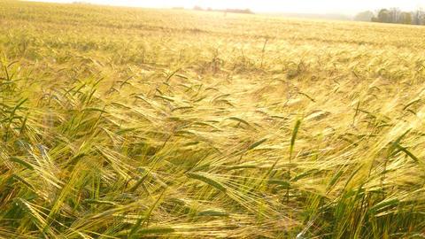 Ears Of Ripe Wheat, 4k stock footage