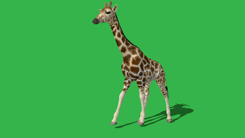 giraffe walking with shadow - green screen Animation