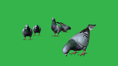 Pigeons eat- separated on green screen Animation