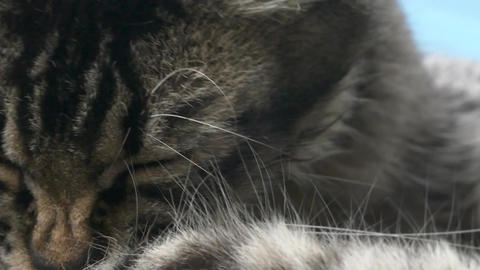 [alt video] Cat Licking Its Paw