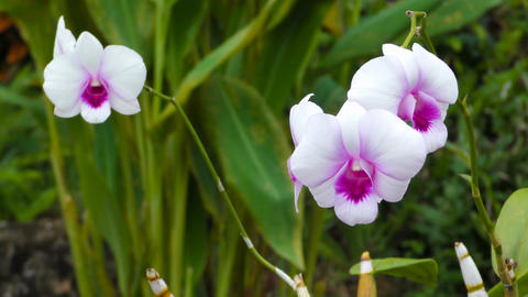 White and purple orchids sways in the wind Footage