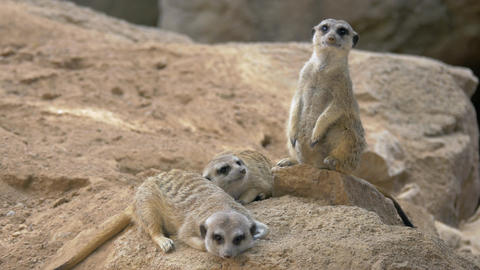 Three meerkats with one being on the alert Footage