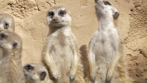 Group of suricates stand sentry Footage