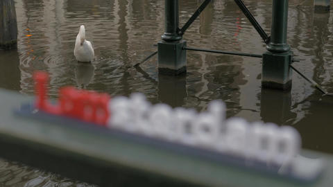 White swan in water and I amsterdam slogan 画像