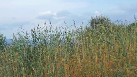 Scene with waving reeds Footage