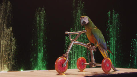 View of trained circus parrot riding a small bike, Moscow, Russia Footage