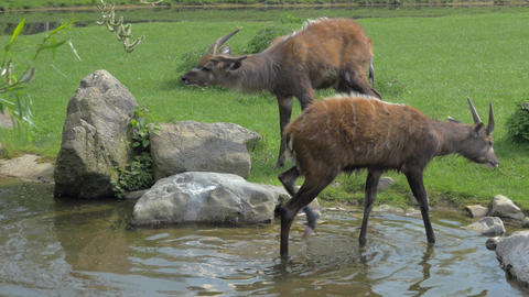 Two sitatunga by pond in the zoo or nature reserve Live Action