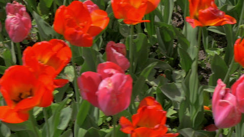 In the field of red tulips Footage