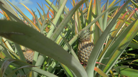 View of pineapple plants farm in summer season against blue sky, Mauritius Islan Footage