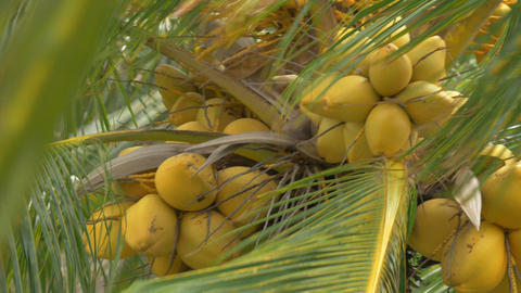 View of yellow green coconut in the bunch on coconut palm tree with huge leaves Footage