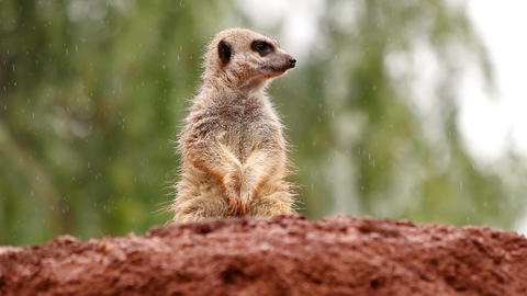 Sweet suricate standing in the rain watching out from a rock Footage