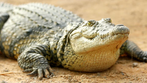 Crocodile lying in the sun breathing and waiting close-up Footage