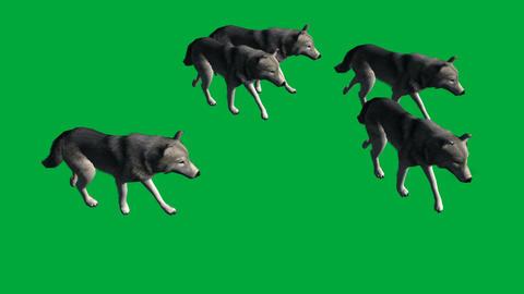 wolfs walk - animal green screen footage Animation
