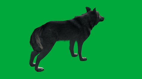 wolf walk - animal green screen footage Animation