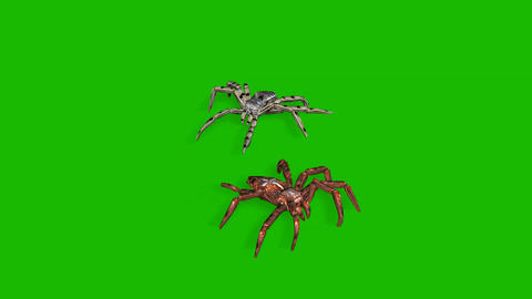 two spiders on green screen creepy crawling Animation