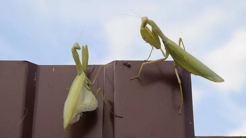 The female and the male praying mantis Footage