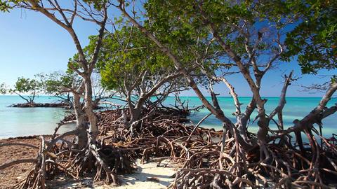 Mangroves at caribbean seashore Filmmaterial