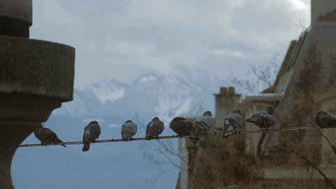 Flock of city pigeons sitting on wire, surviving cold together, birdwatching Footage