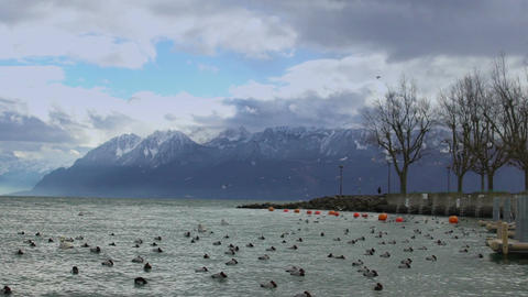 Wild ducks floating and flying over stormy water surface, snowy Alps on horizon Footage