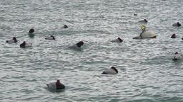 Sleepy wild ducks floating on stormy waves, flock of birds wintering in south Footage