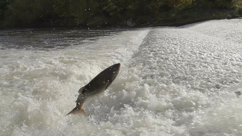 Wild Salmon Jumping Out Of River. Closeup Shot Footage