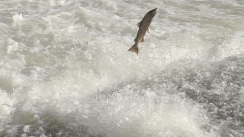 Slow Motion Shot Of A Atlantic Salmon Jumping Waterfall Footage