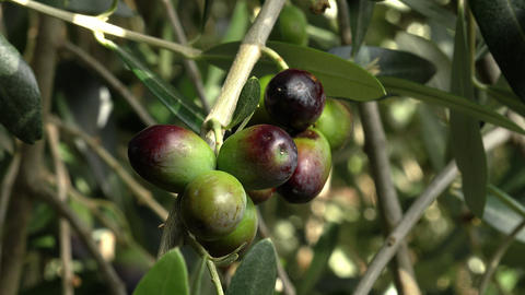 olive branches with olives: extra virgin olive oil: italian traditional product Footage