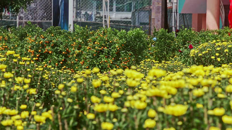 View from Yellow Chrysanthemums to Mandarin Tree at Sunlight Footage