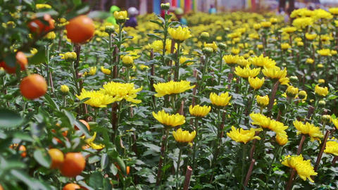 View from Yellow Chrysanthemums to Tangerine Tree at Sunlight Footage