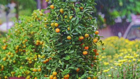 Tangerine Trees on Street Market Stand under Tropical Rain Footage