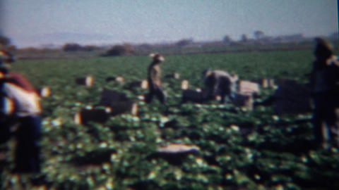 1952: Workers picking strawberries in the hot sunny green fields Footage