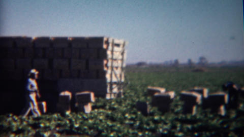 1952: Agricultural truck of boxes in the fields loads up during harvest season Footage