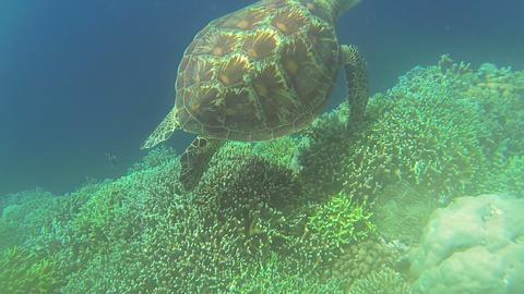 Sea turtle in Philippine Sea Footage
