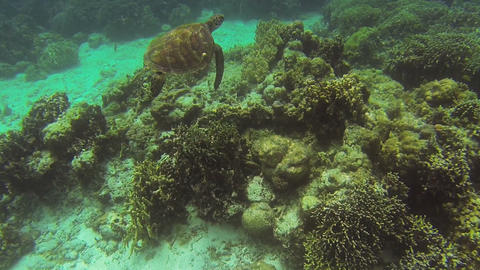 Sea turtle swimming in the beautiful sea waters Live Action