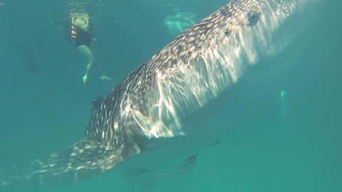 Whale Shark in ocean Footage