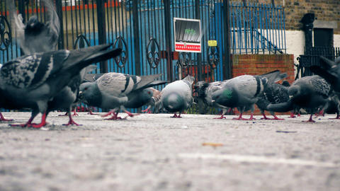 A flock of pigeons on the road Footage