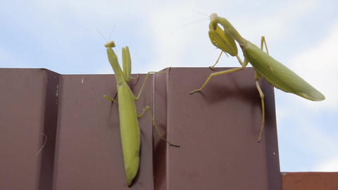 The female and the male praying mantis on a metal fence profile Footage