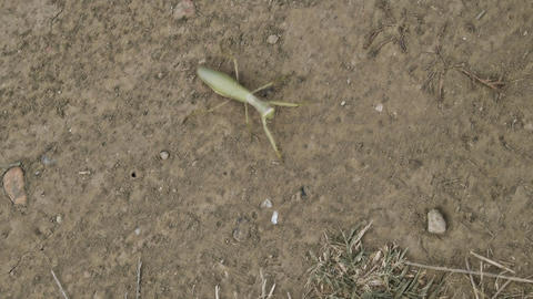 Mantis on the ground. Mantis looking at the camera. Mantis insect predator Live Action