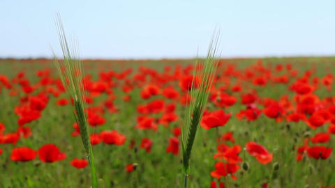 Two Ear of Corn and a Field of Blooming Red Poppies Footage