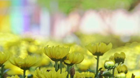 Closeup Macro Yellow Chrysanthemums at Bright Sunlight Footage