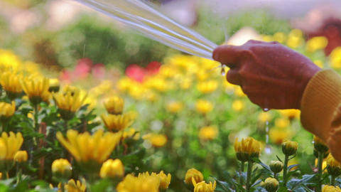 Person Hand Waters Yellow Chrysanthemum Flowers on Plantation Footage