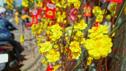 Close Yellow Flowers Decorations for TET in Vietnam Footage