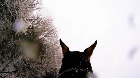 Doberman pinscher in the Snow ビデオ