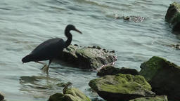 Thailand Ko Samui Island 086 heron wading in water between rocks Footage