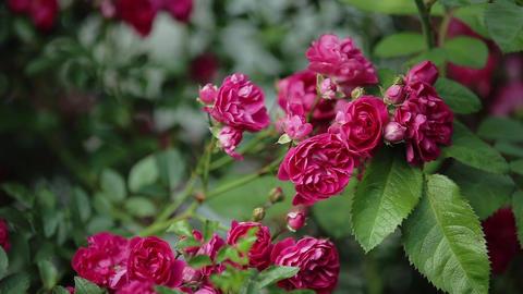 Rose bush in garden Footage