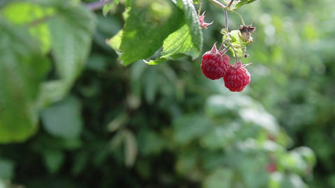 Raspberry on branch Footage