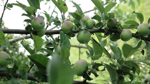 Apples on apple tree branches Footage
